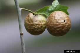 Oak apple gall after the wasp has emerged, Steven Katovich, USDA Forest Service, Bugwood.org