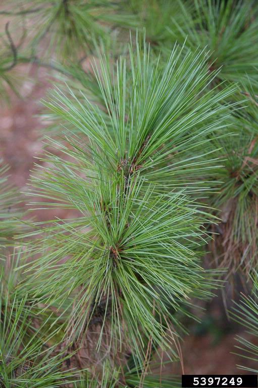 WhitePineTreeRobert Vidéki, Doronicum Kft., Bugwood.org