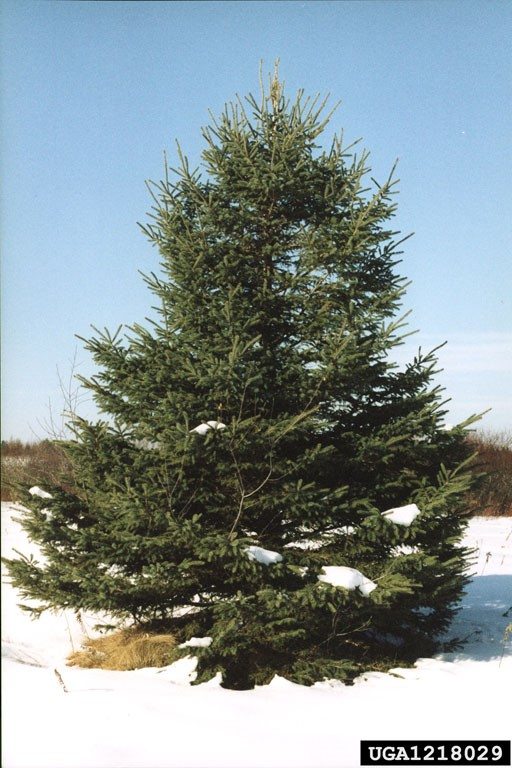 WhiteSpruceTree