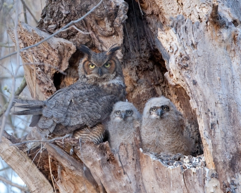 Great Horned Owl family