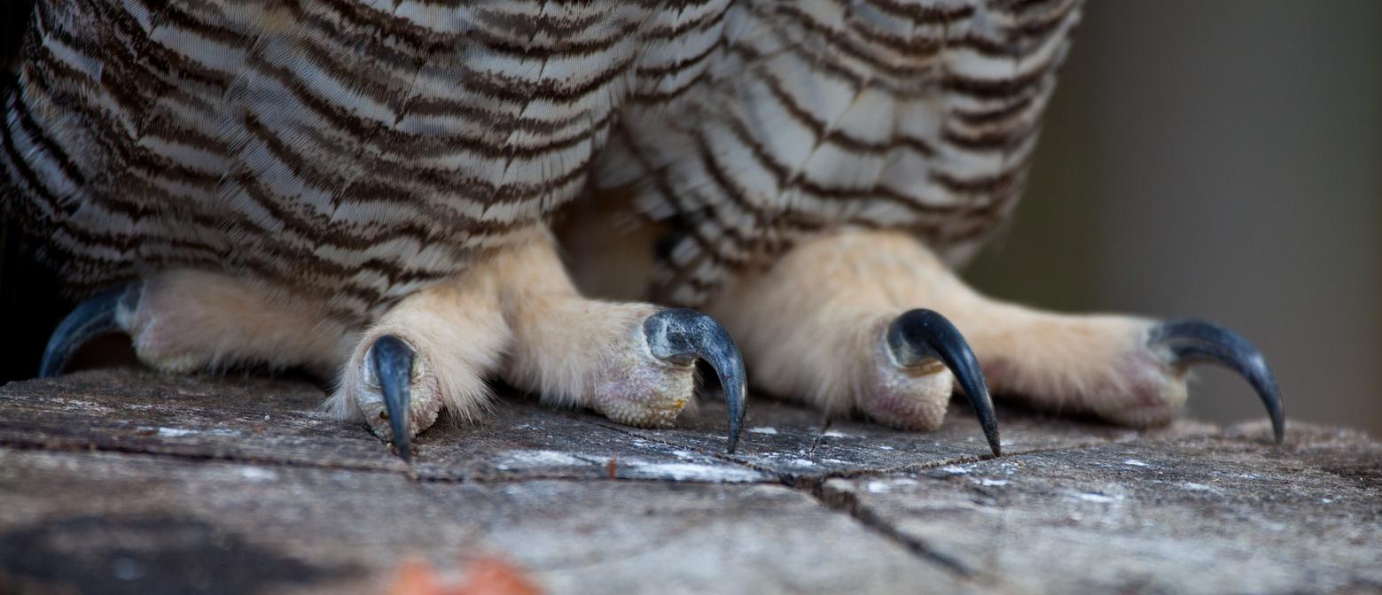 Owl Talons