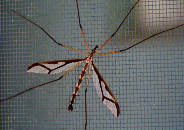 Giant Eastern Crane Fly on the screen