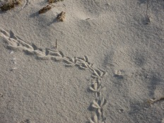 If you are on the beach, you can look for tracks in the sand or snow, photo by Julie Lundgren