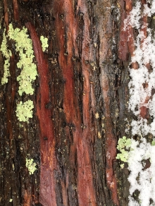 18_bark-lichen-and-snow_lundgren.jpg
