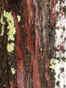 18_bark-lichen-and-snow_lundgren.jpg
