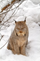 Image 2, Canada lynx, photo by Michael Zahra