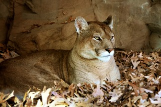 Image 3, Cougar (mountain lion or catamont), public domain image.