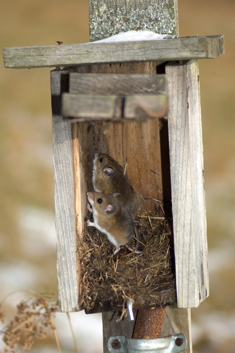 MiceUsingNestbox