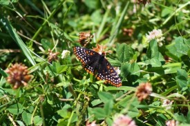 Baltimore checkerspot adult, photo by Niagara Programs Office