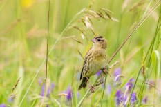 Female bobolink, photo by Paul Bigelow
