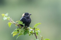 Male bobolink, photo by Paul Bigelow