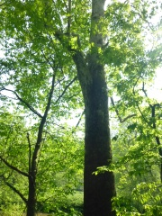 On of Chenango Valley' American sycamore, photo by NY Natural Heritage Program