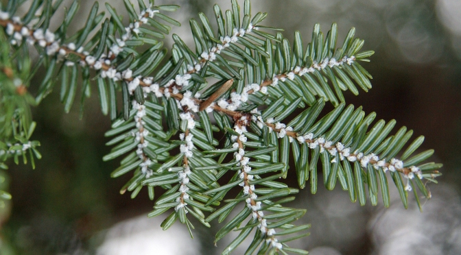 "Big Hopes for Little ""Army"" in Parks' Fight against Hemlock Invaders"