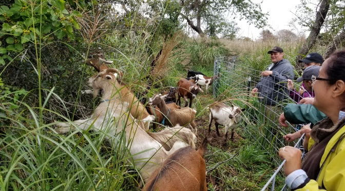 Parks Won't Let Invasive Species Get Its Goat
