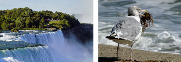 Gorge-ous Gulls of the Niagara in Winter