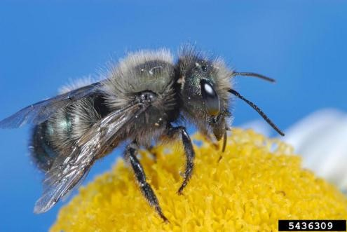 The Wonderful World of Mason Bees