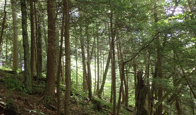 Buying Time As Hemlock Invader Eyes Adirondacks
